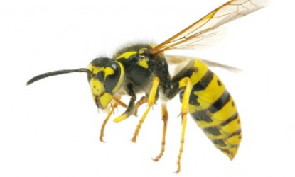Bees, Hornets, Wasps, Yellow Jackets