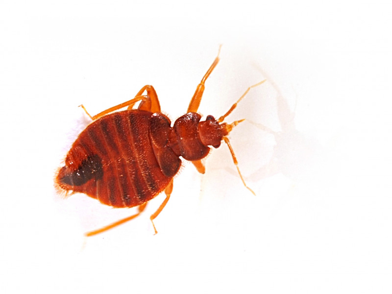 What to Know About Bed Bugs