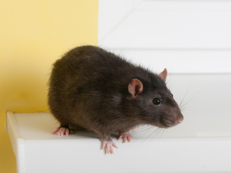 7 Ways to Keep Rats Out of Your Home