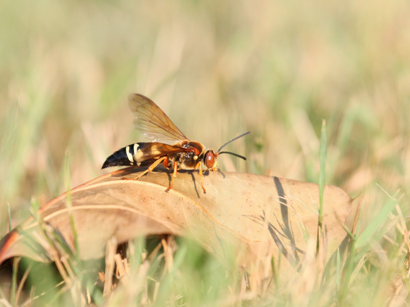 What You Should Know About Cicada Killers