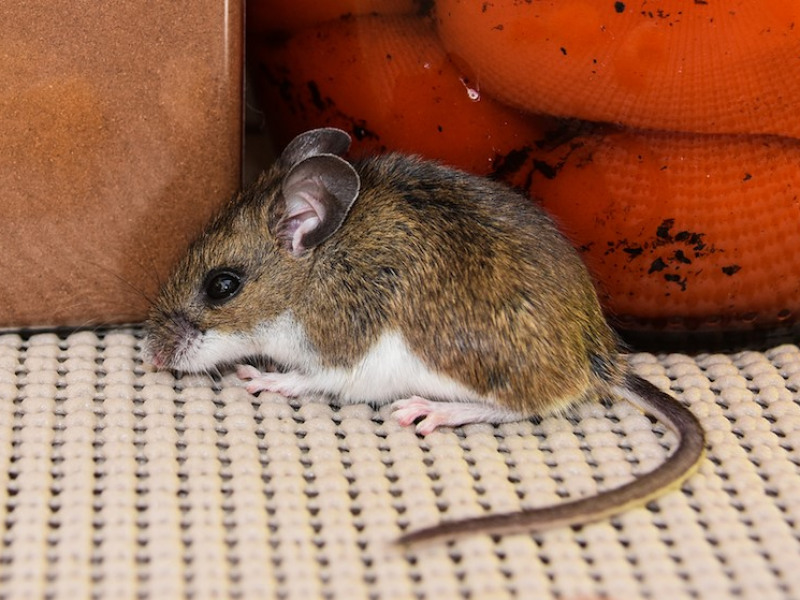 5 Ways to Tell If You Have Rodents in Your Home