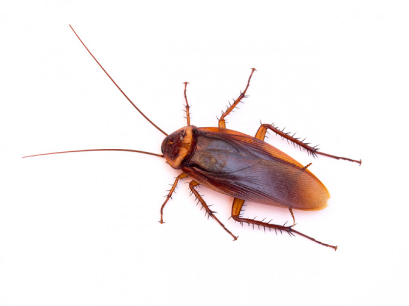 8 Fascinating Facts about Cockroaches