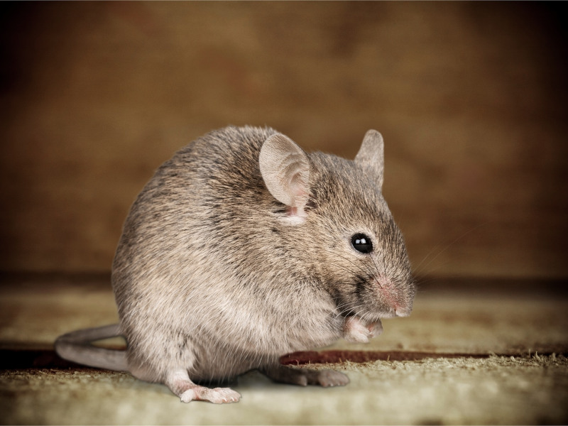 Musophobia: Have You Got Fear of Mice? | Inspect-All Services