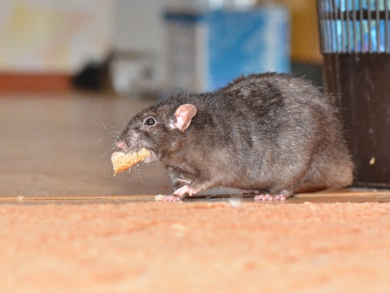3 Reasons You Should Avoid Handling Rodent Problems Yourself