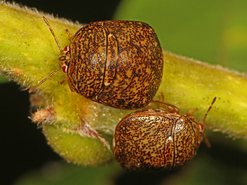 What to Know About Kudzu Bugs