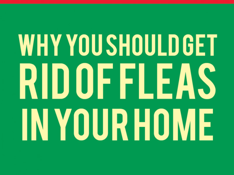 Why You Should Get Rid of Fleas in Your Home