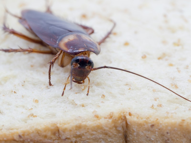 How Cockroaches Have Survived for Thousands of Years