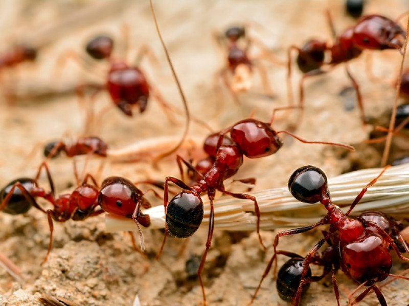 What You Should Know about Fire Ants
