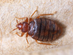 What Season are Bed Bugs Most Active