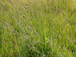 Fescue Grass: Benefits and Considerations